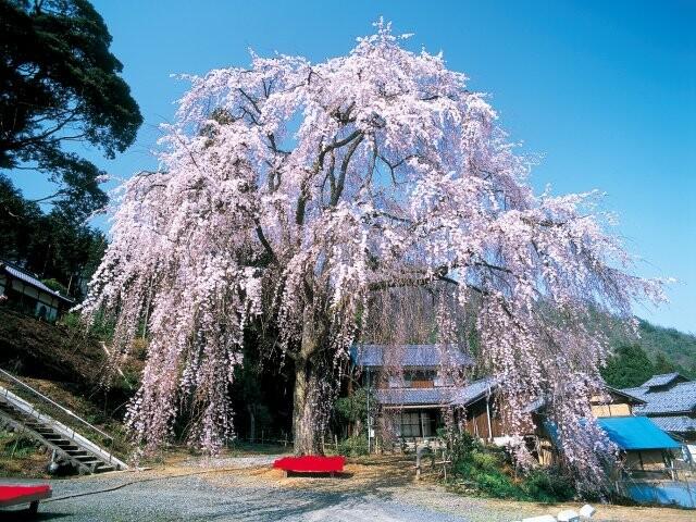 妙祐寺の「しだれ桜」の写真
