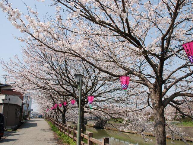 下条川千本桜の写真