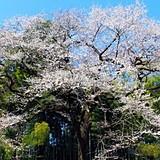 エドヒガンザクラ(北本自然観察公園内)