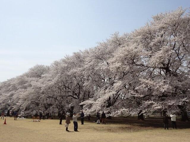 伊奈町無線山桜並木の写真