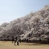 伊奈町無線山桜並木