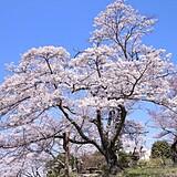 美の山公園のソメイヨシノ
