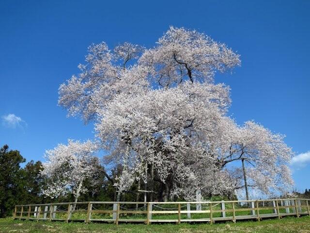 戸津辺の桜の写真
