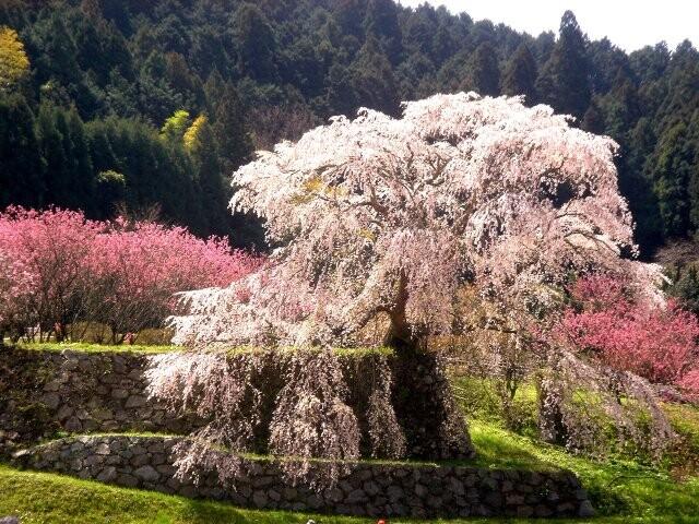又兵衛桜の写真