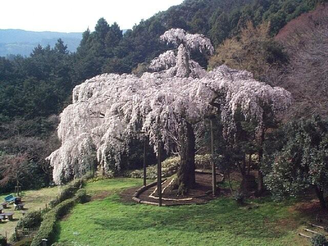 長興山紹太寺のしだれ桜の写真