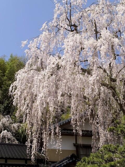 喜多家しだれ桜の写真