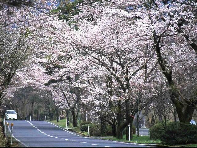 萩原桜並木の写真