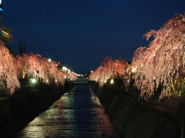 倉津川枝垂桜の写真
