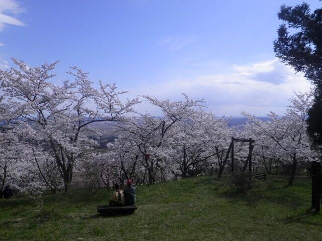 西行桜の森の写真