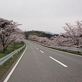 野坂の桜ロード