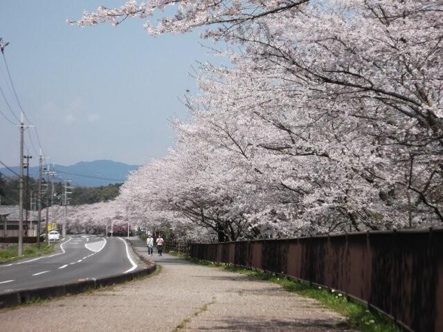 野川の桜の写真