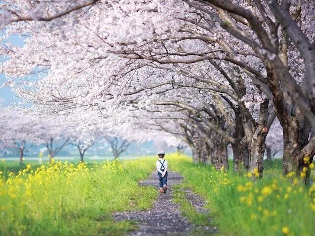 草場川の桜並木の写真