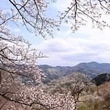 美の山公園のヤマザクラ