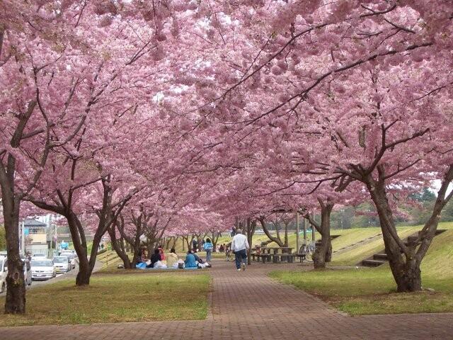 思川桜堤 思川桜並木の写真