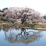 花園しだれ桜