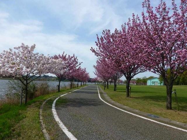 北潟湖畔公園(ヤエザクラ)の桜開...