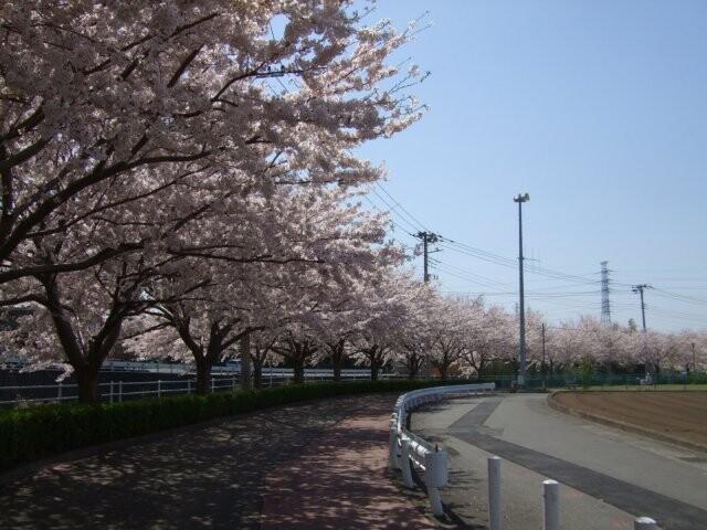 桜堤遊歩道の写真