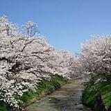 黒井川の桜堤