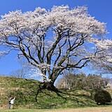 氏邦桜(エドヒガンザクラ)