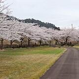 阿仁河川の桜