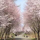 世界一の桜並木(岩木山のオオヤマザクラ)