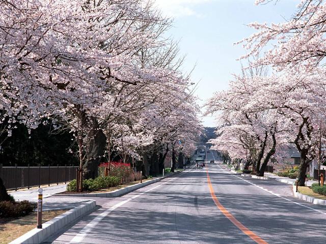 平泉町内 県道300号線(旧国道4号線)の桜並木の写真