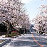 平泉町内 県道300号線(旧国道4号線)の桜並木