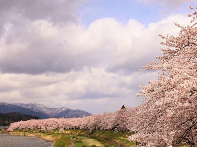 桧木内川堤のソメイヨシノの写真