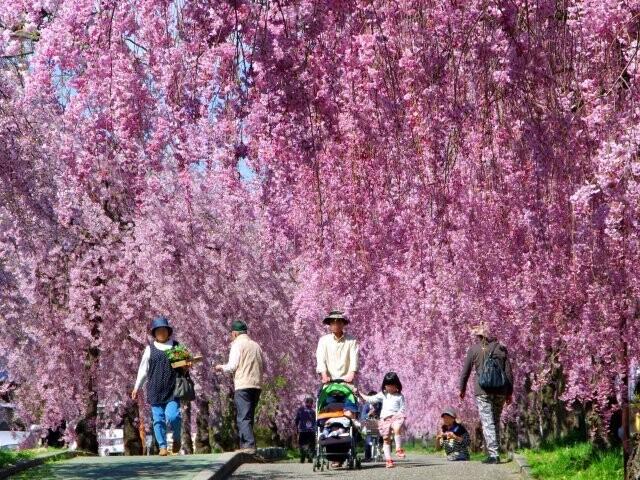 日中線しだれ桜並木の写真