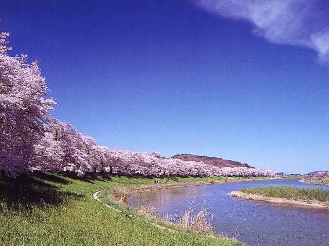 美しい桜の季節!札幌白石区のお花見スポット3選