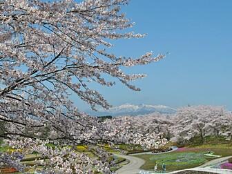 国営みちのく杜の湖畔公園(ソメイヨシノ)
