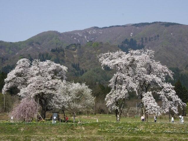 十二の桜の写真