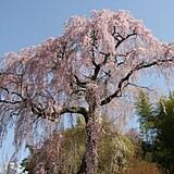 常楽院しだれ桜