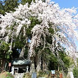 堂山王子神社のしだれ桜
