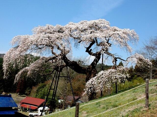 外大野のしだれ桜の写真