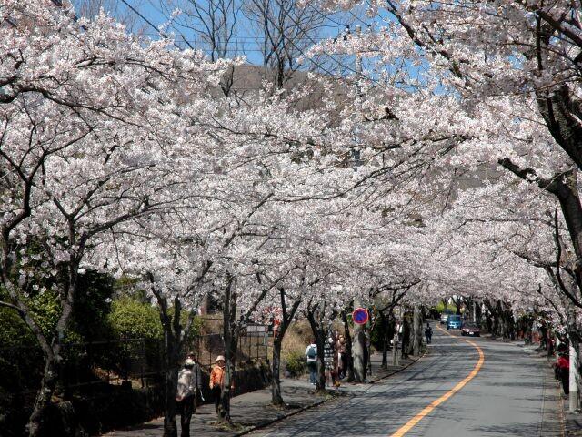 伊豆高原桜並木の写真
