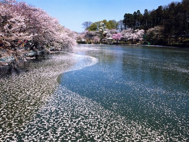 臥竜公園の桜開花情報 - 日本気...
