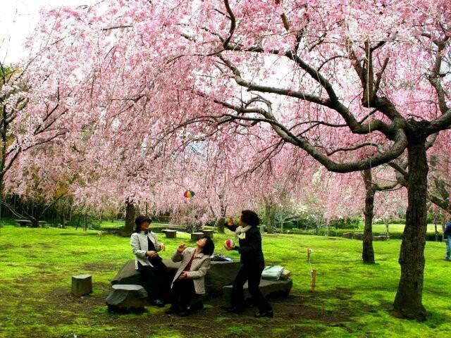 荒井城址公園(しだれ桜)の写真