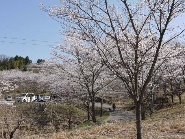 苗木さくら公園の写真