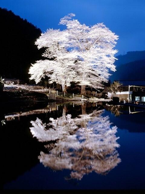 苗代桜の写真