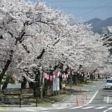 飯田市大宮通り桜並木