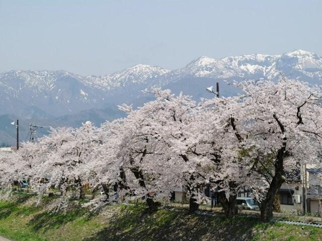 勝山弁天桜(九頭竜河畔)の写真