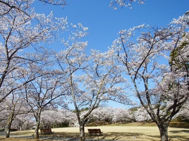 播磨中央公園 桜の園の写真
