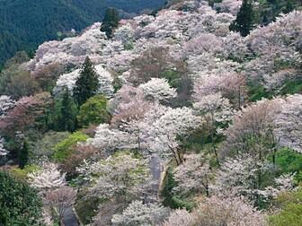 吉野山(下千本)