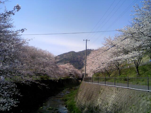 山中渓の桜の写真