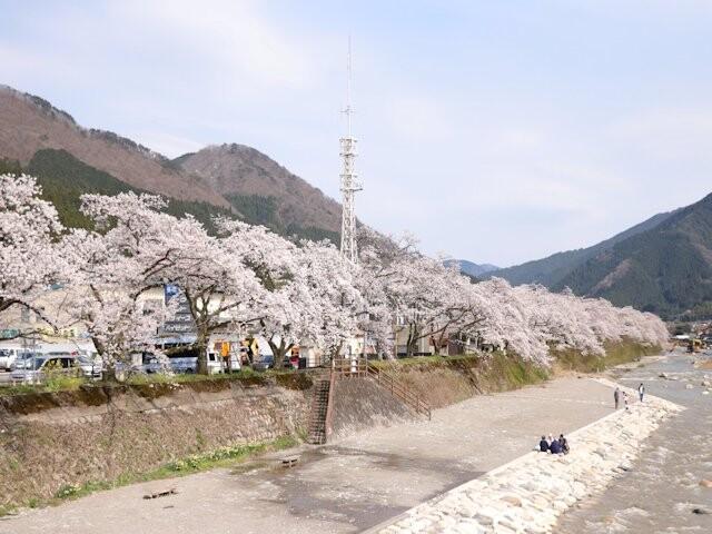 智頭川畔 桜土手の写真
