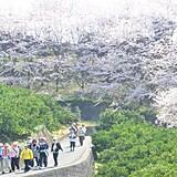 さぎしま 塔の峰千本桜